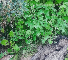 Chinese Alligators in the undergrowth